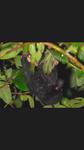 オオコウモリ.png